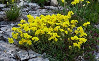 Солнцецвет: посадка и выращивание, уход в открытом грунте