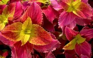 Цветок крапива цветная комнатная