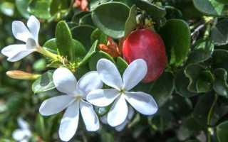 Карисса растение: размножение и уход за цветком