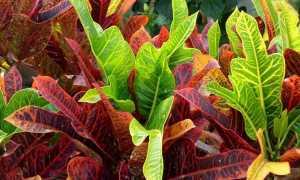 Домашнее растение с зелено желтыми листьями
