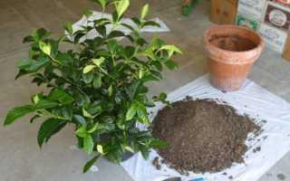 Особенности полива, пересадки и размножения цветка гардения
