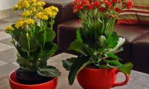 Каланхоэ розалина: советы по выращиванию дома