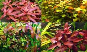 Аквариумное растение людвигия: фото и описание видов, содержание в аквариуме и размножение