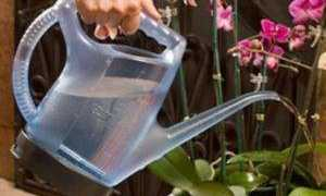 Особенности водного обмена орхидеи фаленопсис