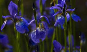 Ирис сибирский: посадка и уход в открытом грунте весной, выращивание из семян, размножение, зимовка, цветы в ландшафтном дизайне сада, фото