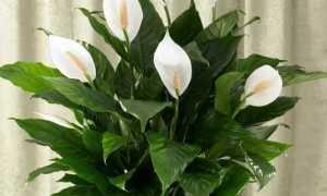 Спатифиллум уолисса 'Свит Романо' (Spathiphyllum wallisii 'Sweet Romano') — описание, выращивание, фото