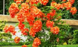 Правильная посадка и уход за садовой азалией в открытом грунте