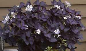 Фиолетовое домашнее растение