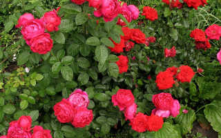 Розы сорта Пиано