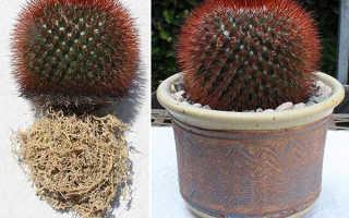 Как привить кактусы своими руками