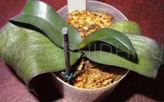 Почему пропадают орхидеи и от чего погибает растение в домашних условиях, из-за чего растение умирает в квартире, фото и видео от специалистов