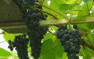 Виноград культурный 'Юрин' — описание сорта, характеристики