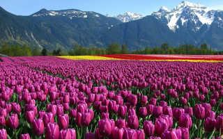 Тюльпаны: уход и выращивание в саду