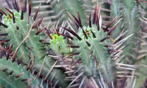 Подскажите как растить кактус, что за сорт