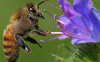 Фацелия – цветок, медонос, кормовая культура, сидерат