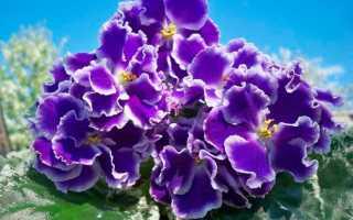 Фиалка летние сумерки: фото, описание сорта и требуемый уход
