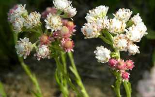 Антеннария (кошачья лапка): уход за цветком, полив и удобрение, виды