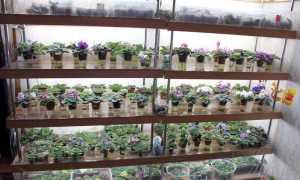 Вянут листья у фиалки: что делать, как спасти цветок