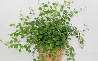 Мюленбекия (Muehlenbeckia) — описание, выращивание, фото
