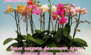 Можно ли пересадить цветущую орхидею фаленопсис во время цветения осенью и зимой, покупка фаленопсиса