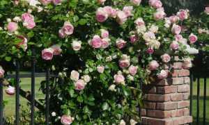Как обрезать плетистую розу после цветения летом