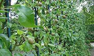 Груша иволистная: описание и особенности выращивания, применение