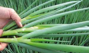 Лук-батун: выращивание и уход, фото, как вырастить из семян в открытом грунте