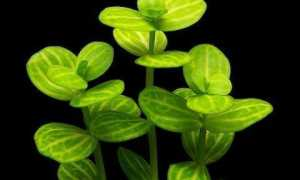 Простантера круглолистная (Prostanthera rotundifolia) — описание, выращивание, фото