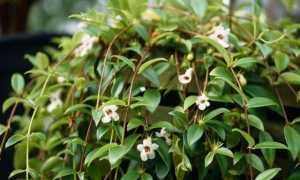 Цветок кодонанта: уход в домашних условиях