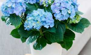 Цветок гортензия комнатная уход в домашних