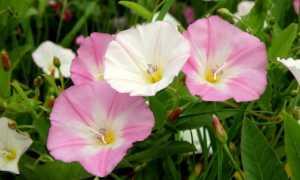 Цветок вьюнок: фото и описание. Чем отличается ядовитые полевые вьюнки от декоративных видов – ипомея, мавританского.