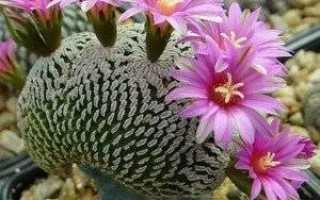 Турбиникарпус Зауэра (Turbinicarpus saueri) — описание, выращивание, фото