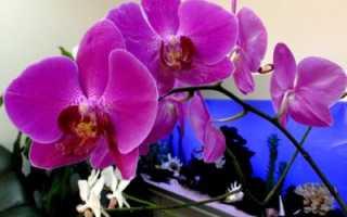 Фиолетовые орхидеи: фото и сорта с сиреневыми, лиловыми и темно-бордовыми цветками, их название и значение цвета