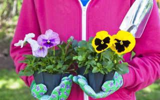 Цветок виола: выращивание и посадка из семян; крупноцветковые, многолетние и другие сорта
