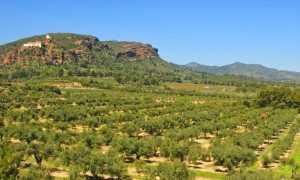 Маслина (Olea) — описание, выращивание, фото