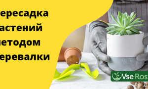 Пересадка растений методом перевалки