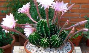 Комнатный кактус Эхинопсис: уход в домашних условиях
