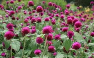 Гомфрена: фото цветка, выращивание из семян, рассада, посадка и уход, когда сажать в открытый грунт