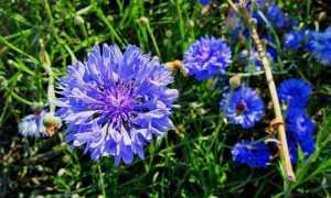 Василёк синий: описание и применение растения