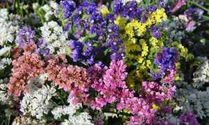 Цветок лимониум (кермек): посадка и уход, 10 видов с фото