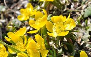 Лапчатка Тонга: описание и особенности выращивания, применение