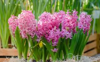 Гиацинты: розовые сорта