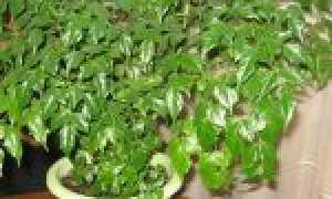 Радермахера: пересадка и размножение растения, тонкости ухода и возможные проблемы