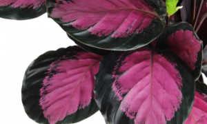 Калатея – выращивание и уход: myPlants