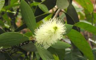 Мелалеука очереднолистная (Melaleuca alternifolia) — описание, выращивание, фото