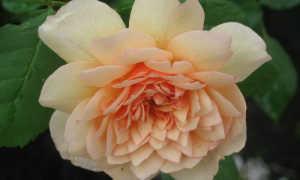 Розы Английские или розы Дэвида Остина