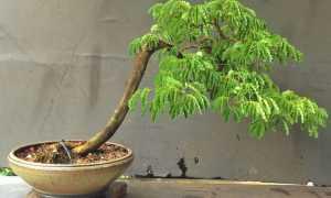 Тамаринд – Tamarindus: фото, условия выращивания, уход и размножение