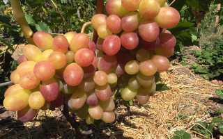 Виноград культурный 'Цахкунк' — описание сорта, характеристики