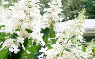 Гортензия метельчатая белая
