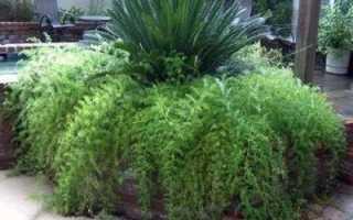 Аспарагус перистый – Asparagus setaceus, Asparagus plumosus: фото, условия выращивания, уход и размножение